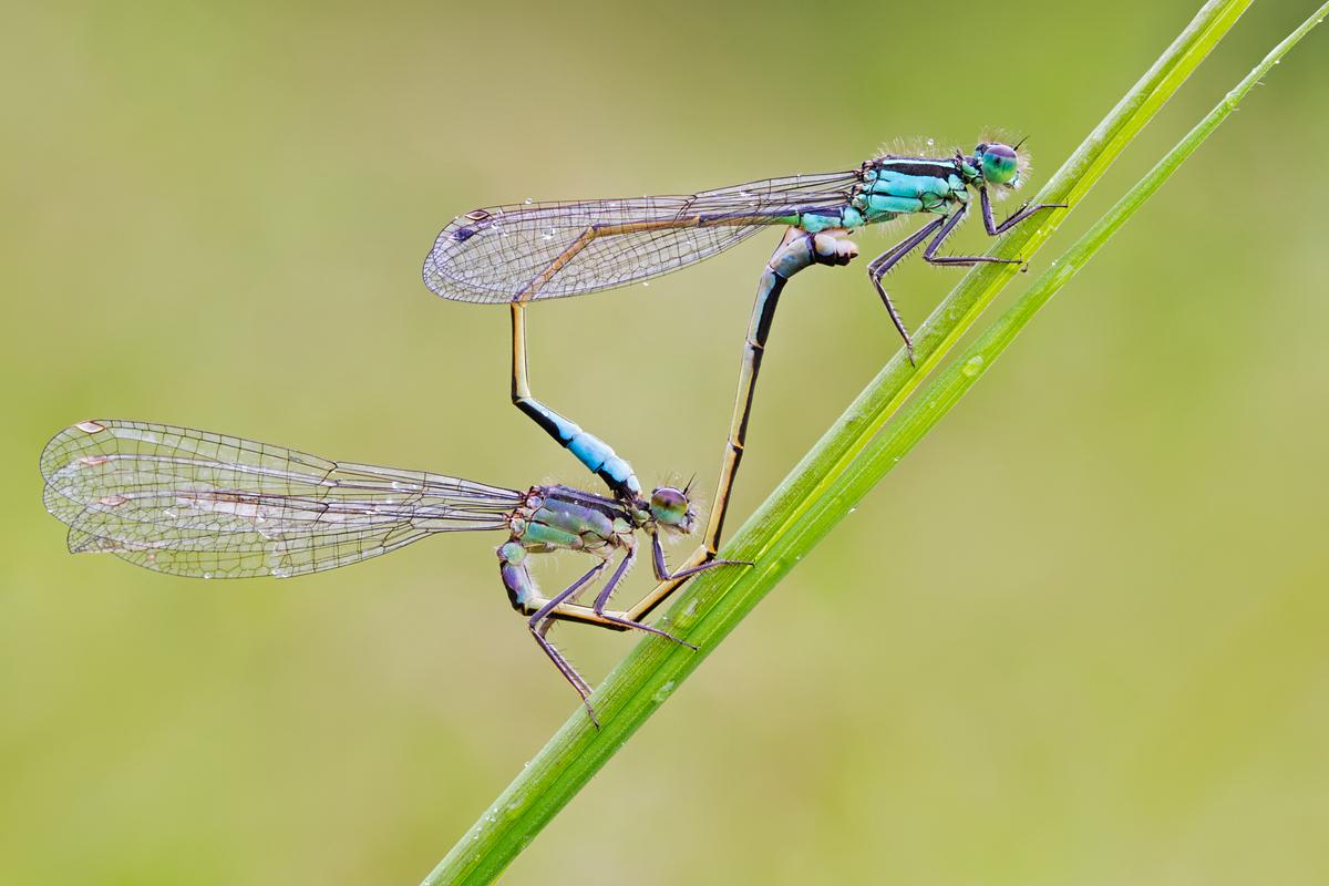 اليعسوب التصوير الدقيق لدورة حياته 5