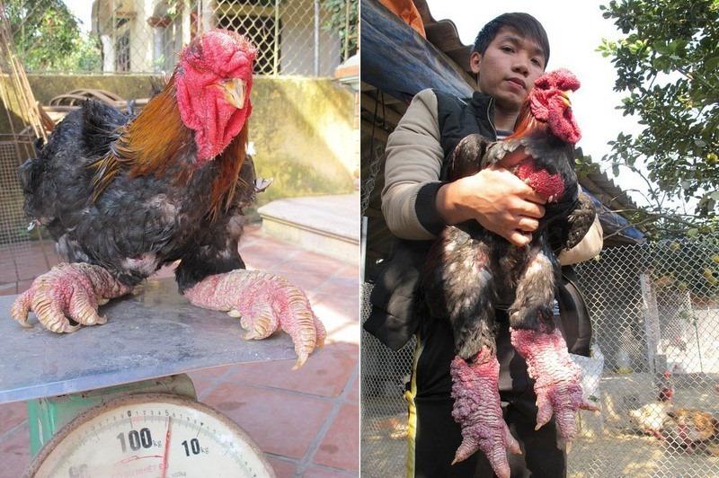 دجاج دونغ تاو