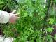 زراعة البقدونس