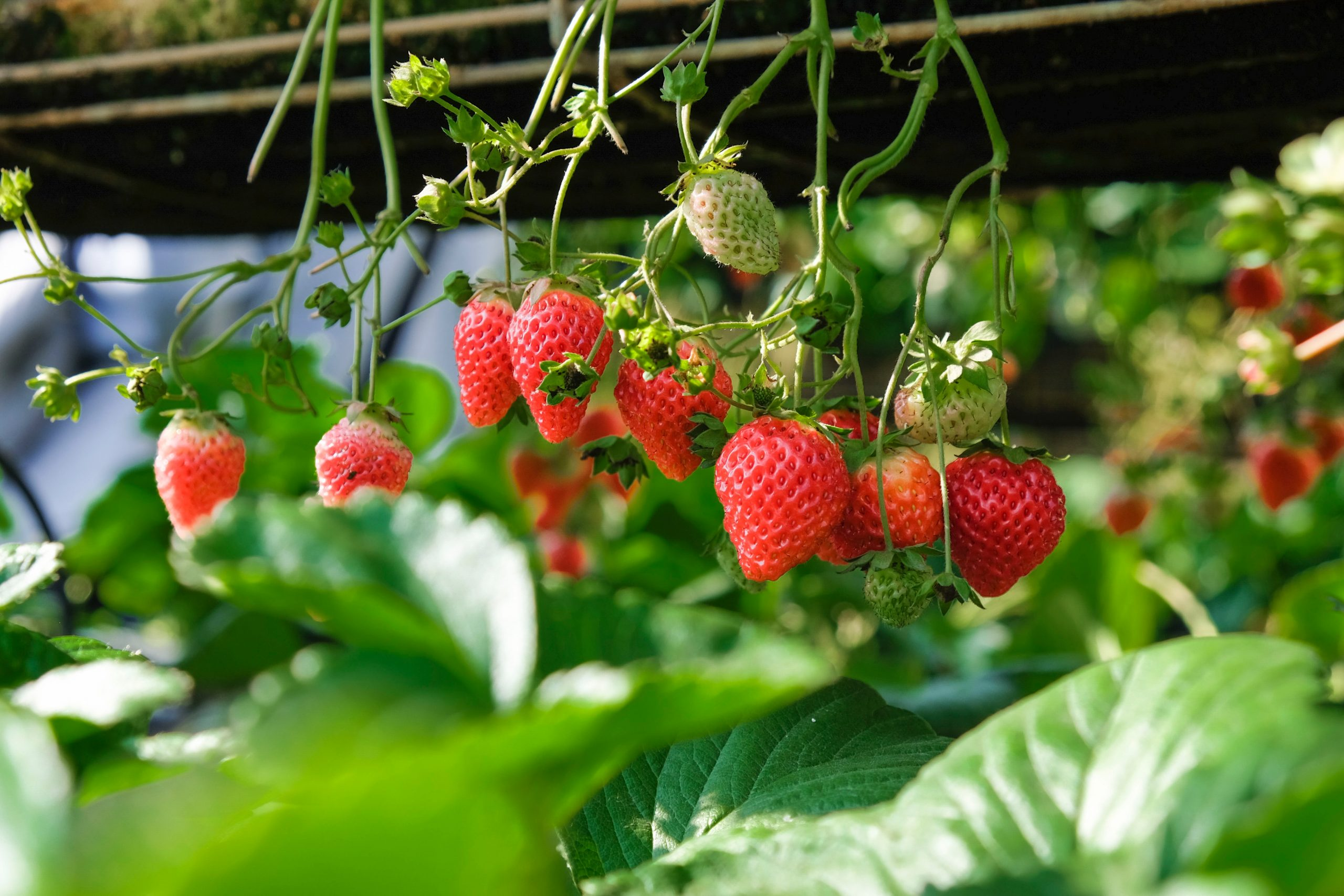 كيف تبدأ زراعة الفراولة داخل المنزل؟