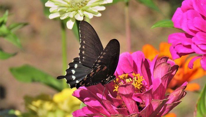 الفراشات في المنام