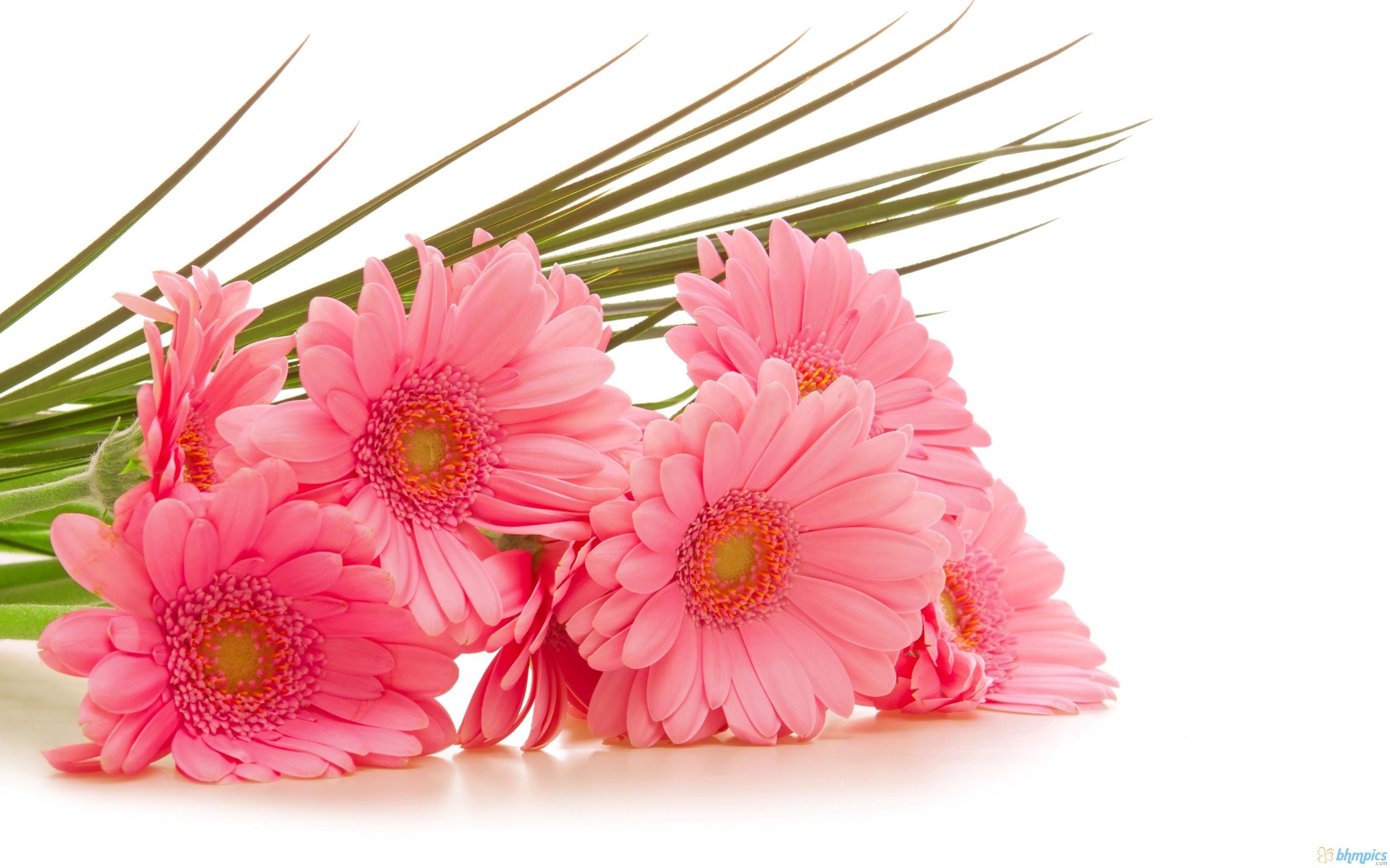 gerbera_pink_flowers-2560x1600