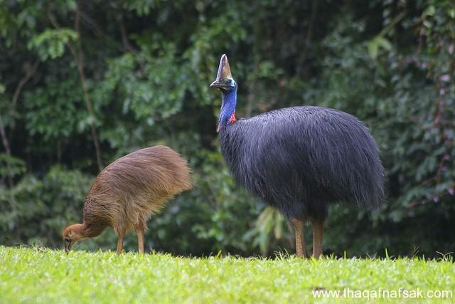 أخطر أنواع الطيور الأرض. sh1.jpg