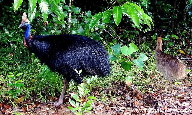 أخطر أنواع الطيور الأرض. sh6.jpg