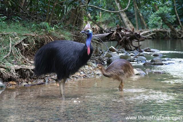 أخطر أنواع الطيور الأرض. sh9.jpg